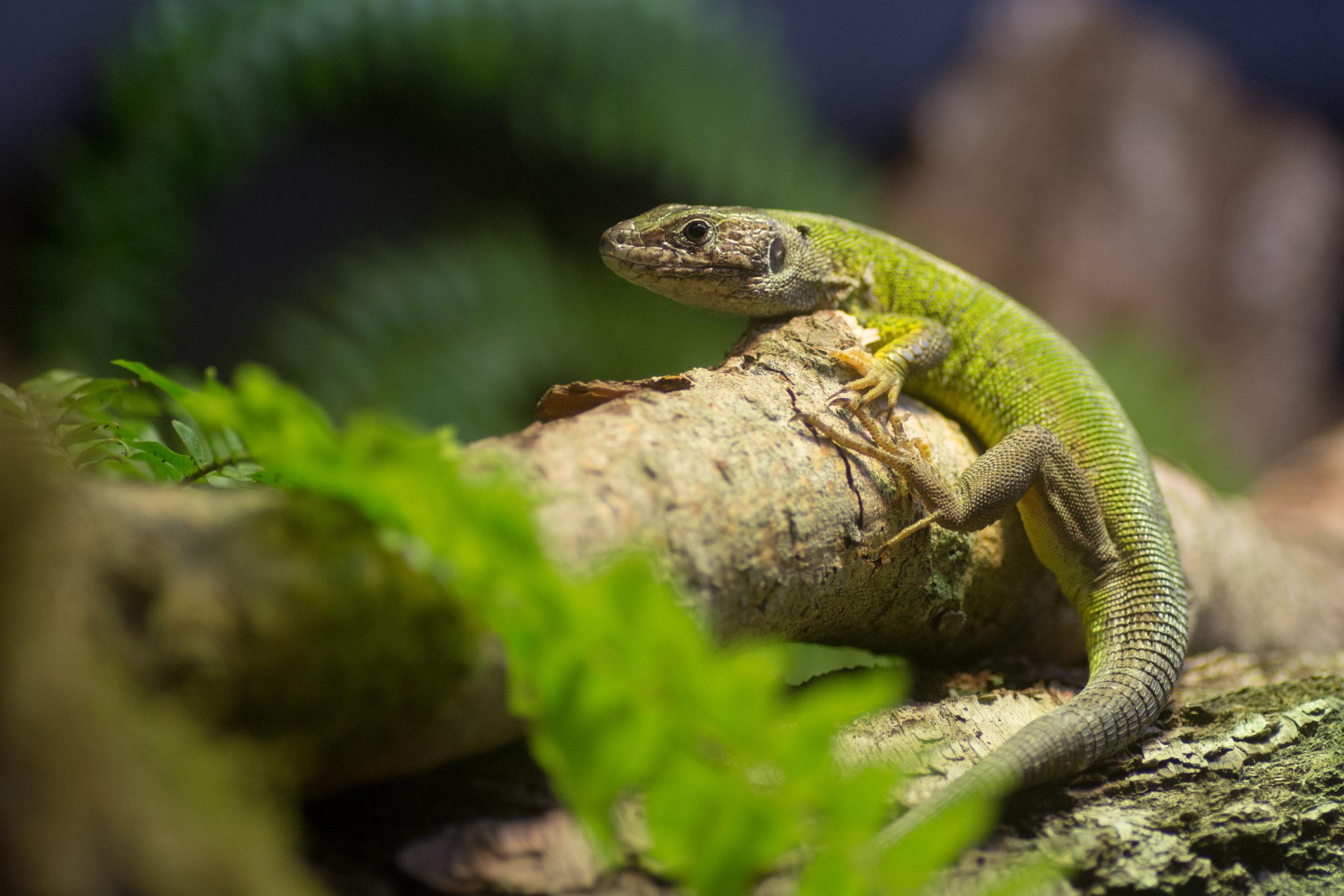 Un lézard vert dans un terrarium de Micro Zoo
