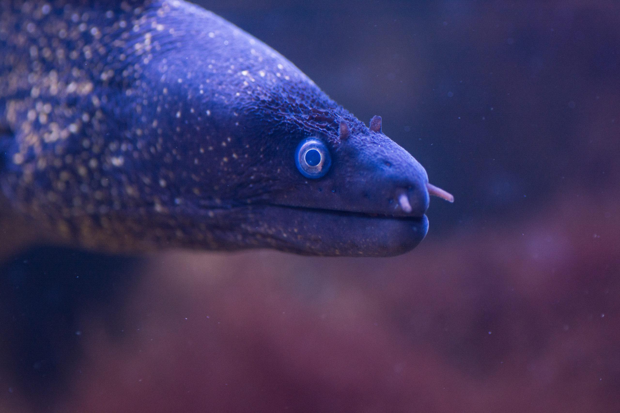 Murène commune dans son aquarium à Micro Zoo Saint-Malo