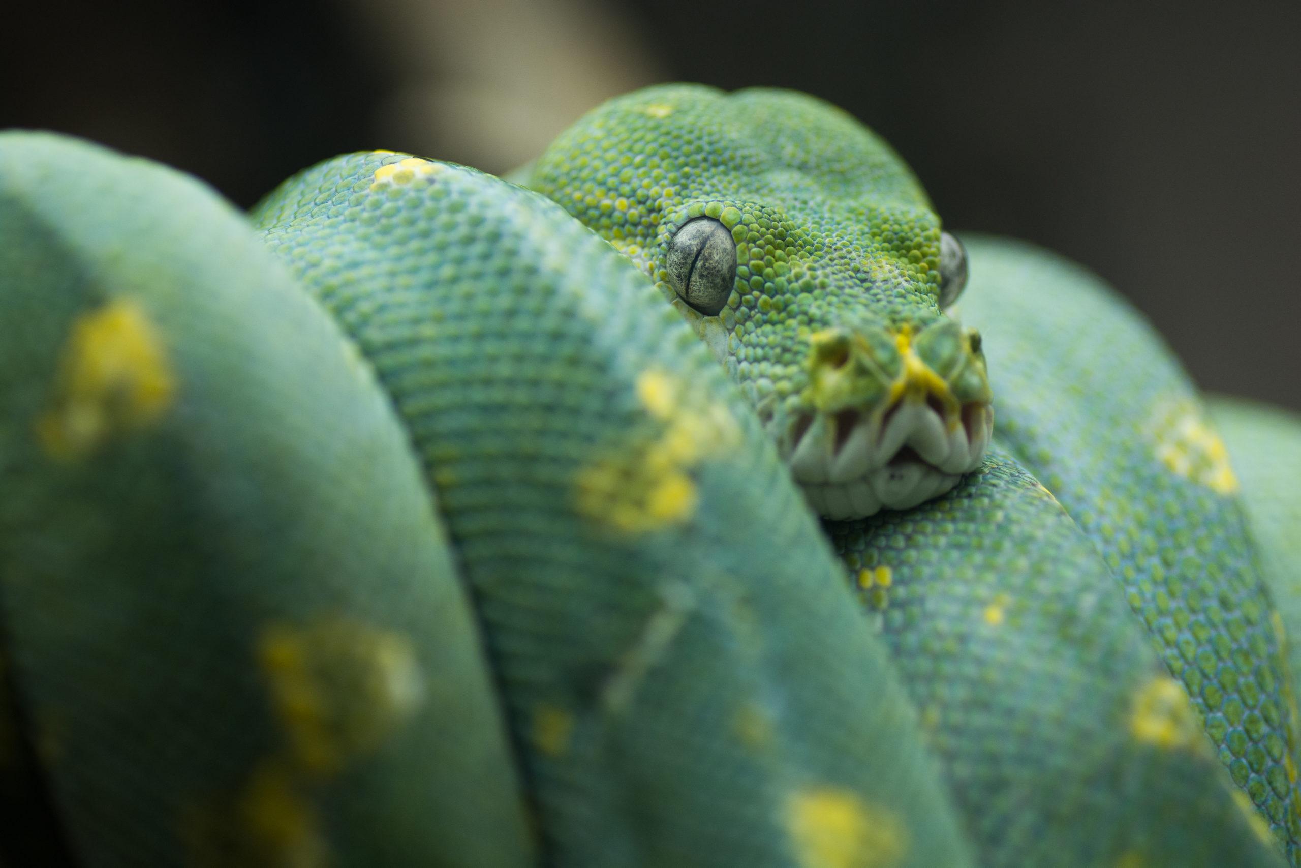 Python vert enroulé sur une branche de Micro Zoo Saint-Malo